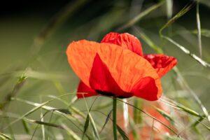 poppy-4258913_1920